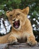 Young lion yawns. Funny expression muzzles. Savannah. National Park. Kenya. Tanzania. Maasai Mara. Serengeti. Stock Images