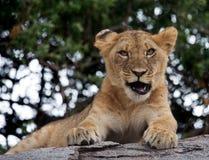 Young lion yawns. Funny expression muzzles. Savannah. National Park. Kenya. Tanzania. Maasai Mara. Serengeti. Royalty Free Stock Photography