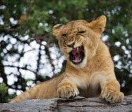 Young lion yawns. Funny expression muzzles. Savannah. National Park. Kenya. Tanzania. Maasai Mara. Serengeti. Stock Photos