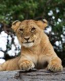 Young lion yawns. Funny expression muzzles. Savannah. National Park. Kenya. Tanzania. Maasai Mara. Serengeti. Royalty Free Stock Images