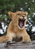 Young lion yawns. Funny expression muzzles. Savannah. National Park. Kenya. Tanzania. Maasai Mara. Serengeti. Stock Image