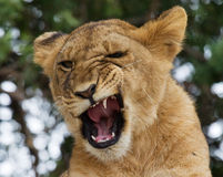 Young lion yawns. Funny expression muzzles. Savannah. National Park. Kenya. Tanzania. Maasai Mara. Serengeti. Stock Photography