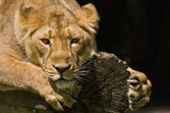 Young lioness. Climbing on a dead tree and watching Royalty Free Stock Photo