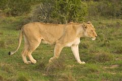 Young Lioness Stock Photos