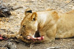 Young lioness eating in the Selous reserve Royalty Free Stock Photo