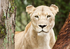 Young lioness gaze. Young female lion / lioness peering through trees with a solemn dangerous look in her eyes Stock Images
