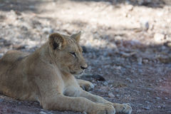 Young Lioness Stock Image