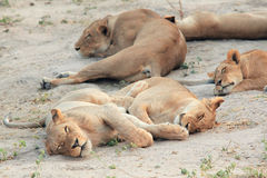 Young lioness resting and sleeping on the African savannah Royalty Free Stock Photos