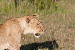 Young lioness on savanna grass background Royalty Free Stock Photography