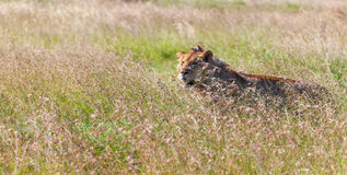Young lioness on savanna grass background Royalty Free Stock Images