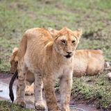 Young Lioness Royalty Free Stock Image