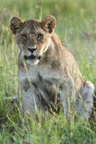 Young lioness sits in the grass. Serengeti National Park of Tanzania Royalty Free Stock Image