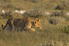 Young Lioness stalking her prey Stock Photo