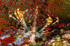 Young lionfish Royalty Free Stock Photo