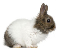 Young Lionhead rabbit, 2 months old. In front of white background stock image