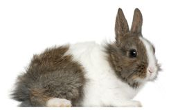 Young Lionhead rabbit, 2 months old. In front of white background royalty free stock image