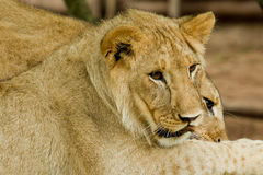 Young lions Royalty Free Stock Images