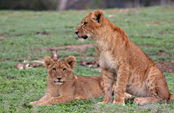 Young lions Royalty Free Stock Photo
