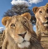 Young lions. Young lion staring at the camera Stock Photography