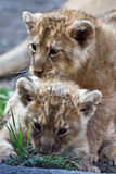 Young lions Royalty Free Stock Image