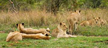 Young Lions in the Bush in South Africa. Young lion pack in the bush at the Jackalberry Safari Lodge in the Thornybush Private Game Reserve, Limpopo Province Stock Images