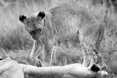 Young Lions in the Bush in South Africa Royalty Free Stock Photography