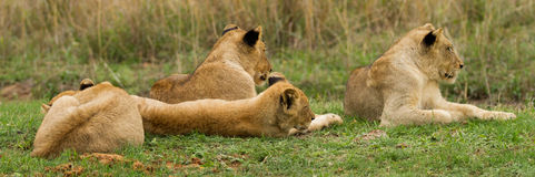 Young Lions in the Bush in South Africa Royalty Free Stock Photos