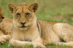Young Lions in the Bush in South Africa Royalty Free Stock Images