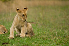 Young Lions in the Bush in South Africa Stock Photography