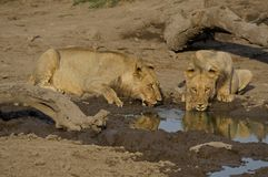 Young lions drinking Stock Photography