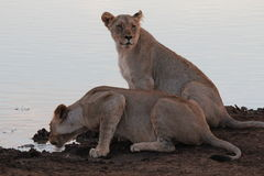 Young lions drinking. Two  young lions drinking at a water hole in Botswana in the evening Royalty Free Stock Photos