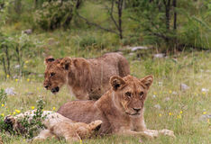 Young Lions at Etosha National Park Stock Photography
