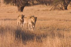 Young Lions Hunting. In Kgalagadi Transfrontier Park, South Africa Stock Photo