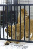 Young lions in hutch Stock Images