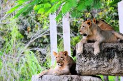 Young lions Royalty Free Stock Photos