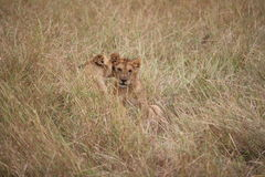 Young lions in the long grass Royalty Free Stock Image