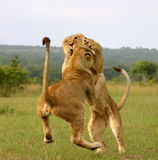 Young lions playing. Young lions (Panthera leo) playing Royalty Free Stock Photos