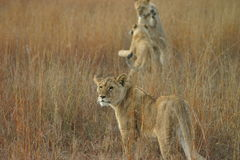 Young lions playing. Young lions (Panthera leo) playing Stock Photo
