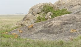 Young Lions playing on a rock formation Royalty Free Stock Photo