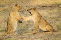 Young Lions playing. Two young Lions play-fighting Stock Photos