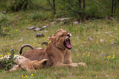 Young lions relaxing Stock Photo