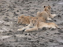 Young Lions Relaxing Royalty Free Stock Photography