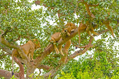 Young Lions Resting in a Tree Royalty Free Stock Photo