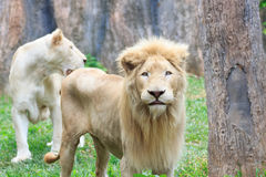Young lions is skinny. Stock Image