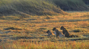 Young Lions Wait Mum From Hunting. Stock Images