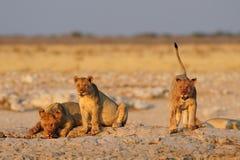 Young lions at waterhole, etosha nationalpark, namibia Stock Image