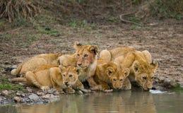 Young Lions at the watering. Kenya. Tanzania. Maasai Mara. Serengeti. Royalty Free Stock Photo