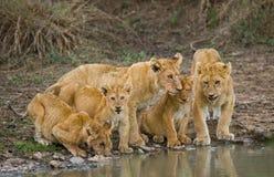 Young Lions at the watering. Kenya. Tanzania. Maasai Mara. Serengeti. Stock Photo