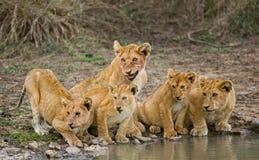 Young Lions at the watering. Kenya. Tanzania. Maasai Mara. Serengeti. Royalty Free Stock Photography