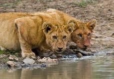 Young Lions at the watering. Kenya. Tanzania. Maasai Mara. Serengeti. Royalty Free Stock Images